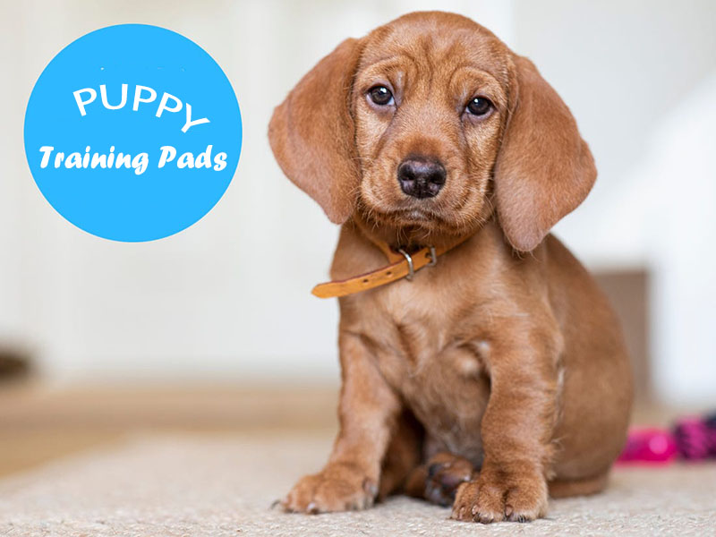 Best Puppy Training Pads for 2020